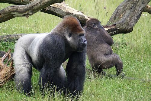 //cdn2.hubspot.net/hub/32387/file-13755838-jpg/images/inbound-marketing-has-made-us-the-800-lb-gorilla.jpg