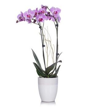 JustAddIce_orchidCS.jpg